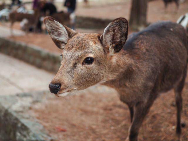 Экскурсия «Нара: навстречу храмам и оленям!»